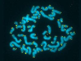 Human Telomeres