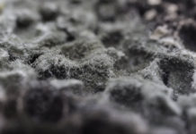 hairy black mold