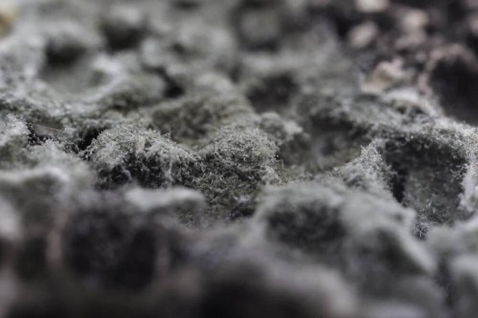 hairy black mold