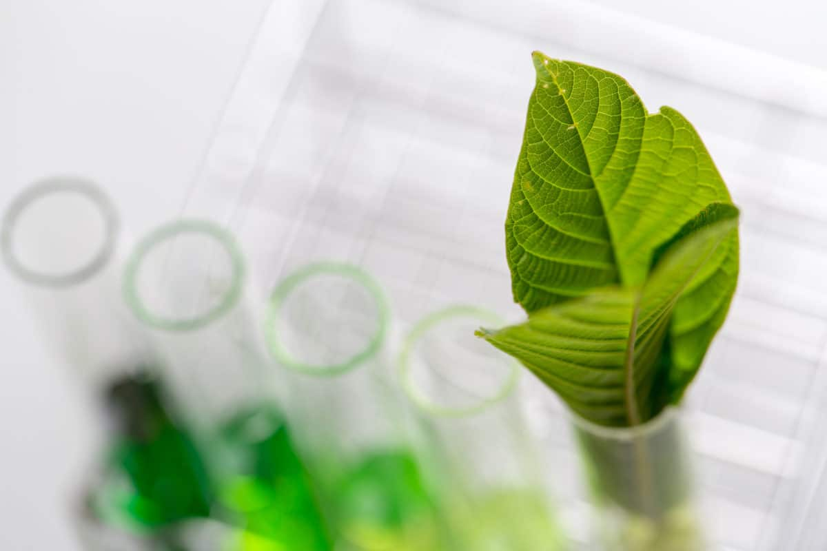 kratom leaves in test tube