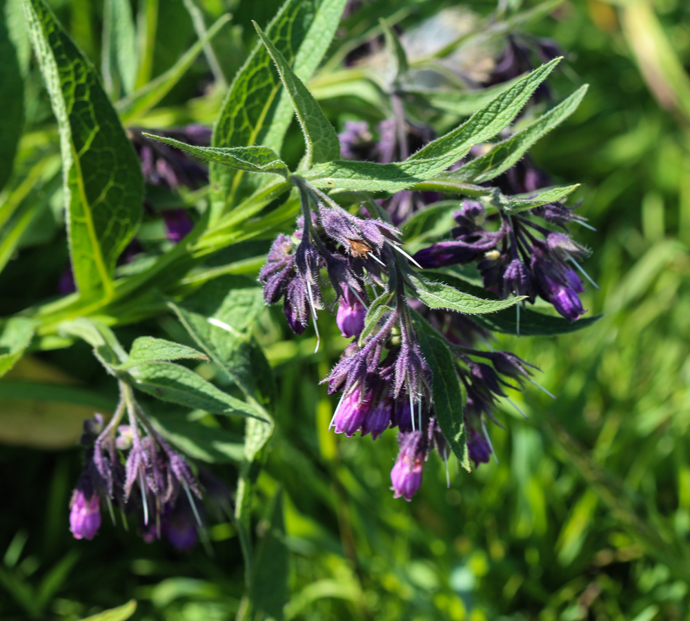 comfrey as a supplement for chronic pain