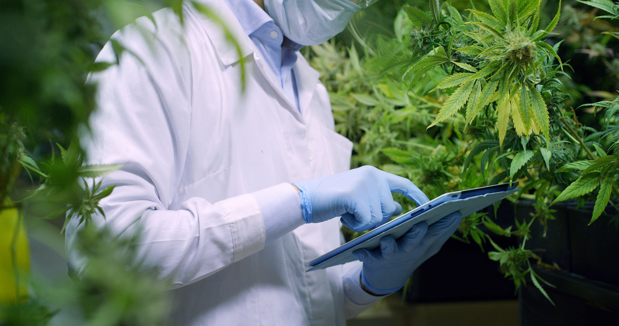 researcher studying marijuana plants